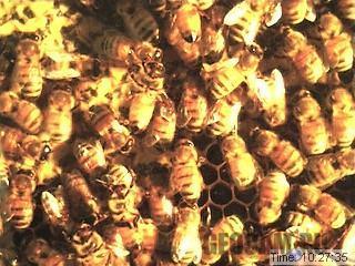 Пчелиная веб-камера