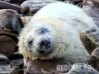 Веб-камера серых тюленей