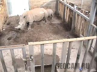 Веб-камера белых носорогов