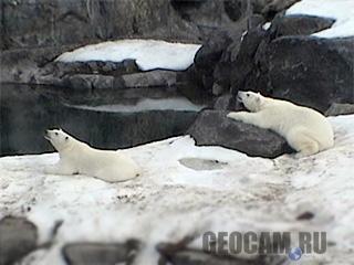 Веб-камера в вольере белых медведей