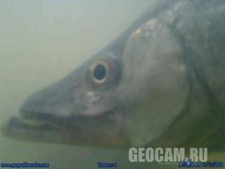 Underwater Fish Webcam