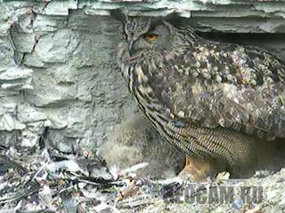 Веб-камера в гнезде сов