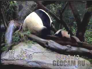 Панда (вебкамера в зоопарке Сан-Диего)