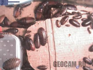 Тараканья веб-камера (Gromphadorhina portentosa)