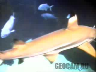 The Waikiki Aquarium Shark Cam
