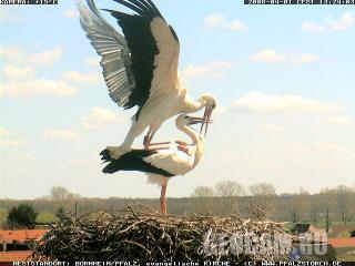 Веб-камера в гнезде аистов (Борнгейм, Германия)