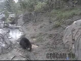Веб-камера 2A в вольере с медведями-губачами