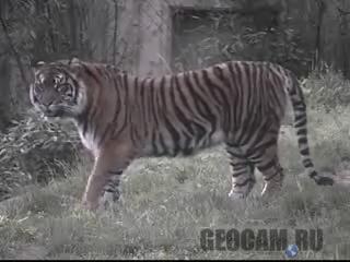 Веб-камера в вольере с тиграми