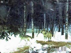 Wolf Den Webcam