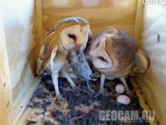 Веб-камера в гнезде сов (Соединённые Штаты Америки)