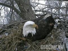 Веб-камера в гнезде белоголовых орланов (Соединённые Штаты Америки)