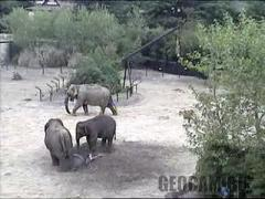Elephants webcam (Ireland)