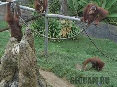 San Diego Zoo Ape Cam (United States)