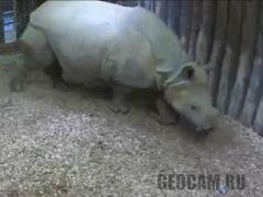 HD Rhinoceros Webcam 2 (Netherlands)