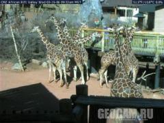 Веб-камера в вольере для жирафов
