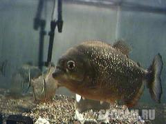 Live Piranha webcam!