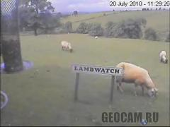 Lamb Watch webcam