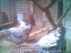Куриная веб-камера