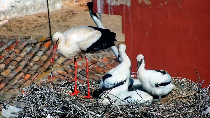 PTZ webcam at the nests of the White Storks Colony, Alfaro, Spain