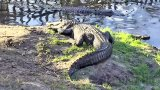 Alligator and Spoonbill Swamp Webcam