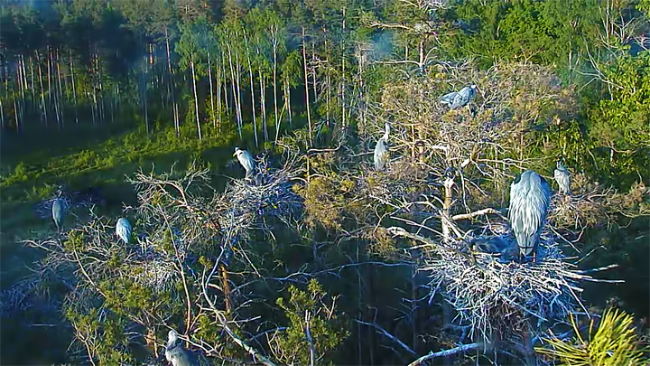 Webcam at the gray heron nest, Estonia: Nests of gray herons on trees (Estonia)