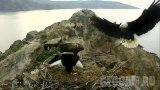 Webcam at the nest of Bald Eagles, Two Harbors, California (Two Harbors, United States)