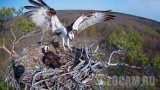 Webcam at the Osprey's Nest in Barlinecka Forest, Poland (Poland)