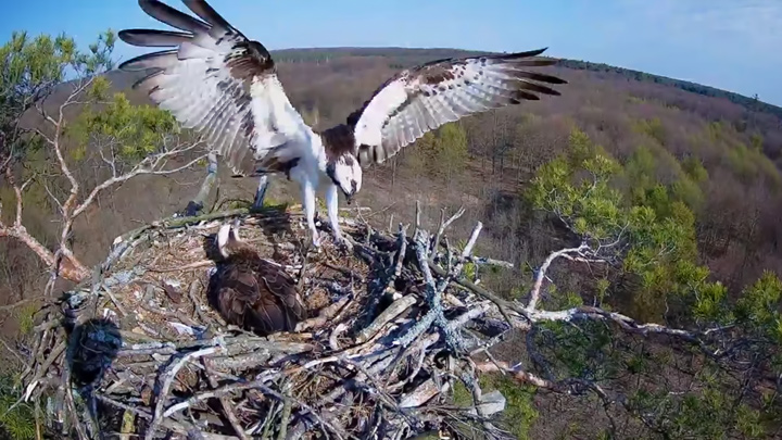 Webcam at the Osprey's Nest in Barlinecka Forest, Poland
