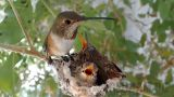 Bella Hummingbird's Live Webcam (La Verne, California, United States)