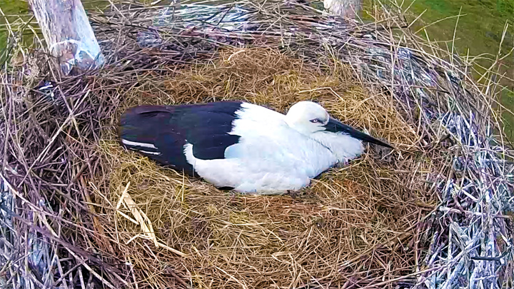 Webcam at the nest of a Far Eastern stork, Berezovsky reserve