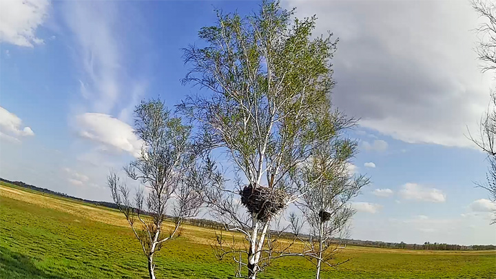 Webcam overlooking the birch tree with a Far Eastern stork nest, Beryozovsky reserve
