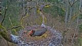 Webcam in nests of black storks