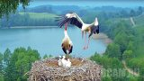 Webcam at the stork nest in Suwalki landscape park, Poland (Podlaskie Voivodeship, Poland)