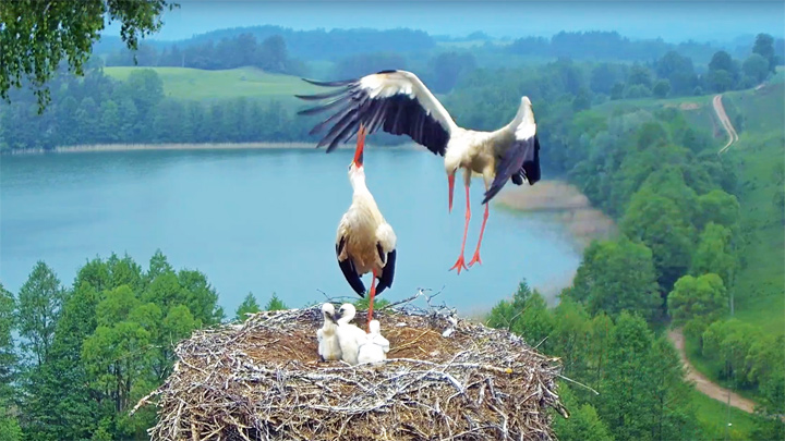 Webcam at the stork nest in Suwalki landscape park, Poland
