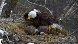 Bald Eagles Webcam, Minnesota