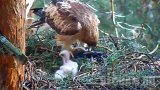 Webcam at the Booted eagle's nest, Sierra de Guadarrama Park
