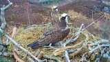 Webcam at the osprey's nest in the Caledonian Forest