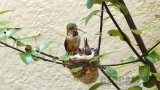 Hummingbird Nest Webcam in Southern California