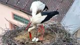 Webcam in the storks nest in Dubna village (Dubne, Czech Republic)