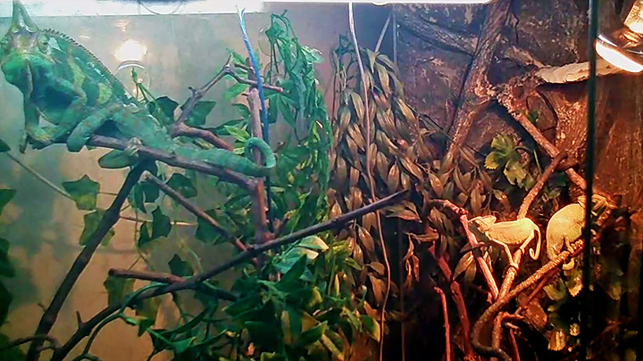 Webcam at the terrarium with chameleons