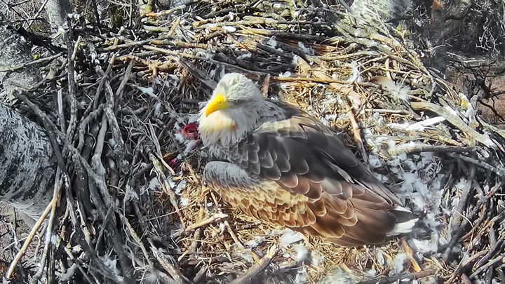 Webcam at the white-tailed eagle nest, Danube-Ipoly, Hungary