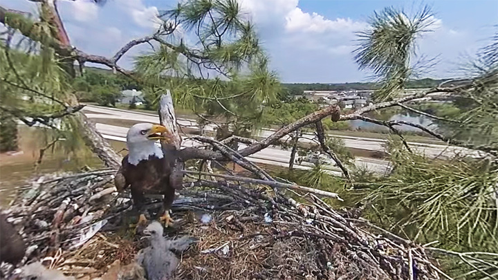 360° webcam at the nest of bald eagles, Florida