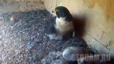 Webcam over the peregrine falcon nest, Orange