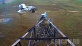 Webcam at the nest of the Far Eastern storks (Tambovka, Russia)
