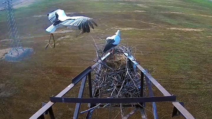 Webcam at the nest of the Far Eastern storks