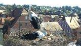Веб-камера у гнезда аистов в городе Фойхтванген, Германия в режиме реального времени