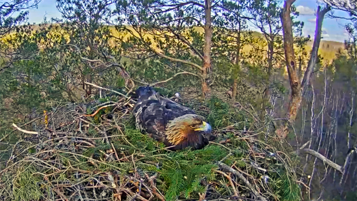 Webcam at the Golden Eagles Nest, Latvia