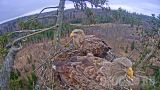 Webcam at white-tailed eagle nest (Durbe Municipality, Latvia)