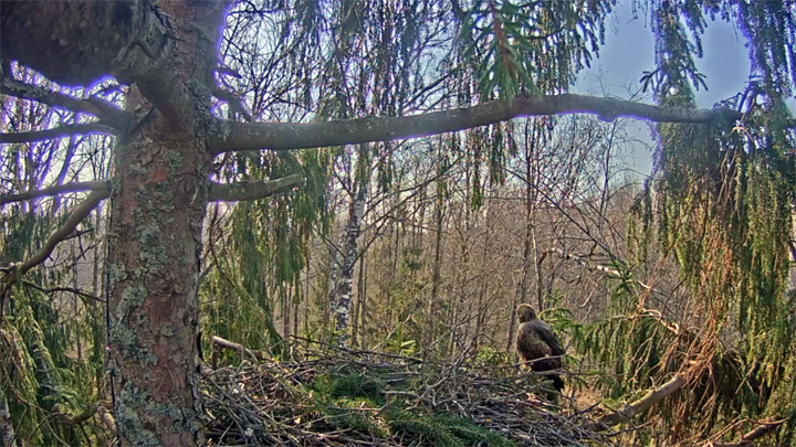Webcam at the nest of the Lesser Spotted Eagle, Latvia
