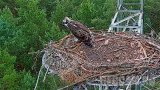 Webcam at the nest of Osprey, Lipka, Poland